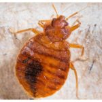 Finding Bed Bugs After Extermination