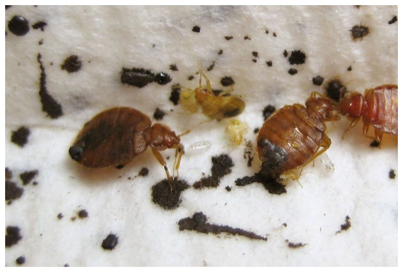 Finding Bed Bugs Early