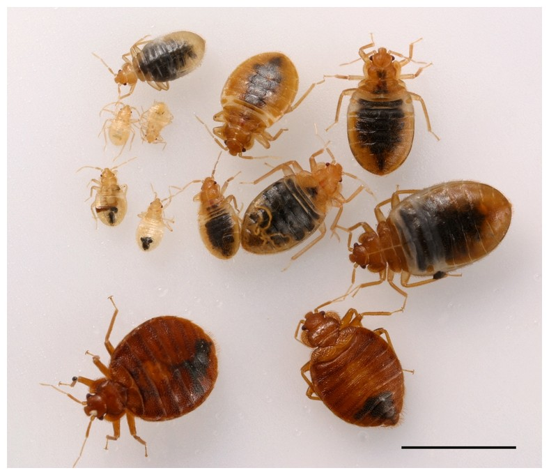 Finding Bed Bugs On Clothes