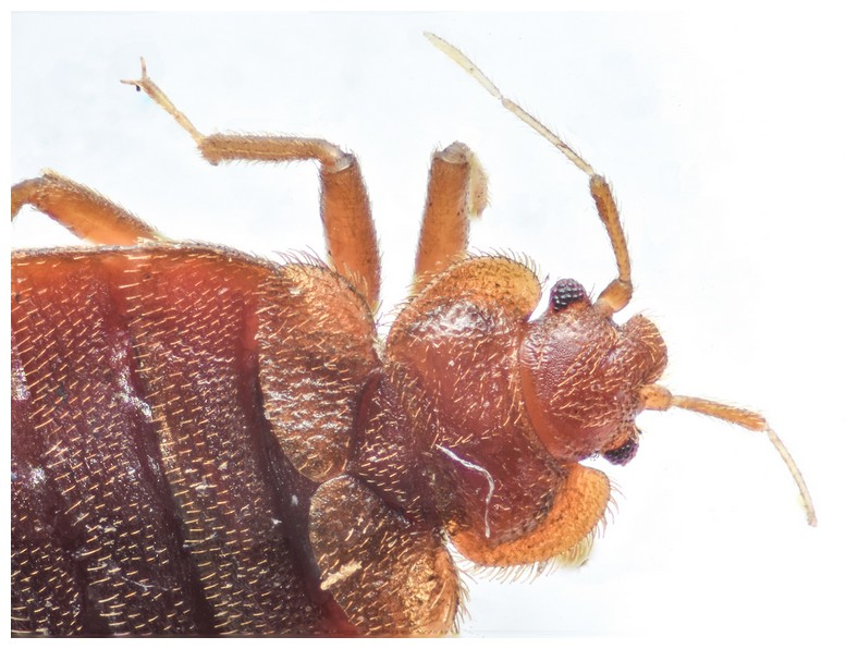 How To Get Rid Of Bed Bugs Fast And Easy