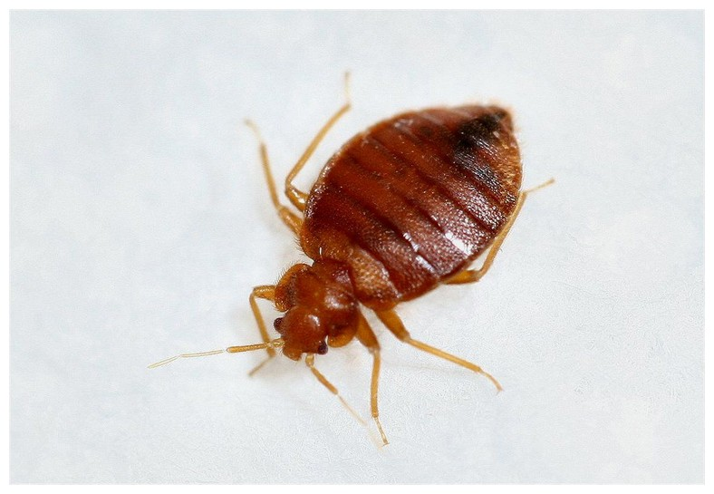 Orkin Bed Bugs Treatment