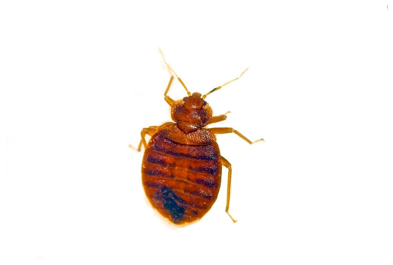 Show Me A Baby Bed Bug