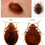 Show Me A Bed Bug Infestation