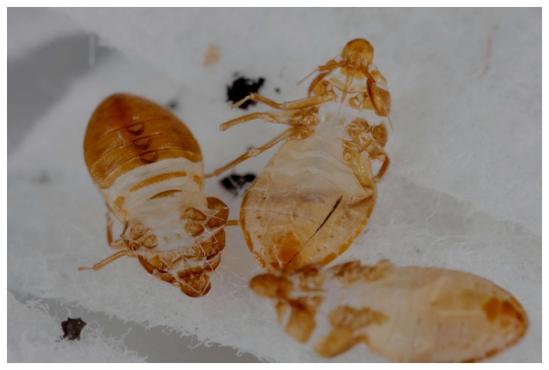 What Do Bed Bugs And Their Eggs Look Like