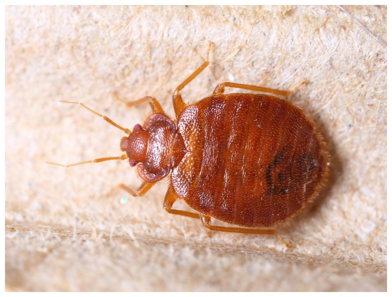 What Is The Most Effective Bed Bug Spray On The Market