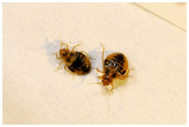 Bed Bugs Transfer