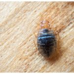 Can Bed Bugs Transfer Diseases?