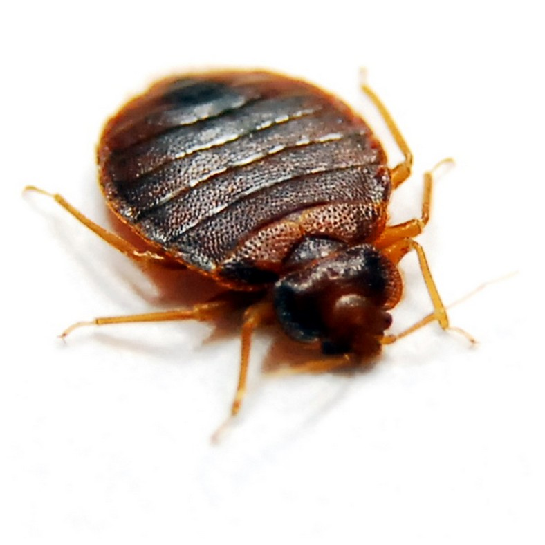 Can You Get Rid Of Bed Bugs Without An Exterminator