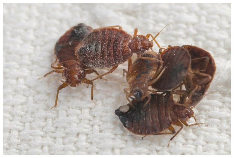 How To Destroy Bed Bugs In Home