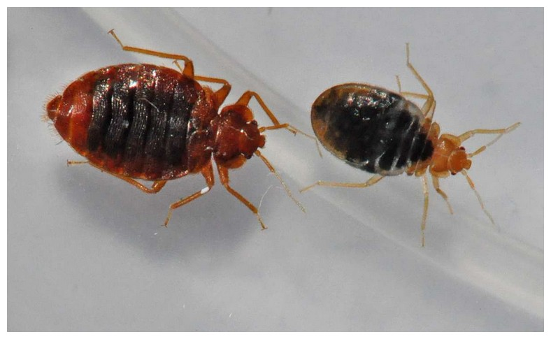 How To Get Rid Of Bed Bugs In Carpet Beetles