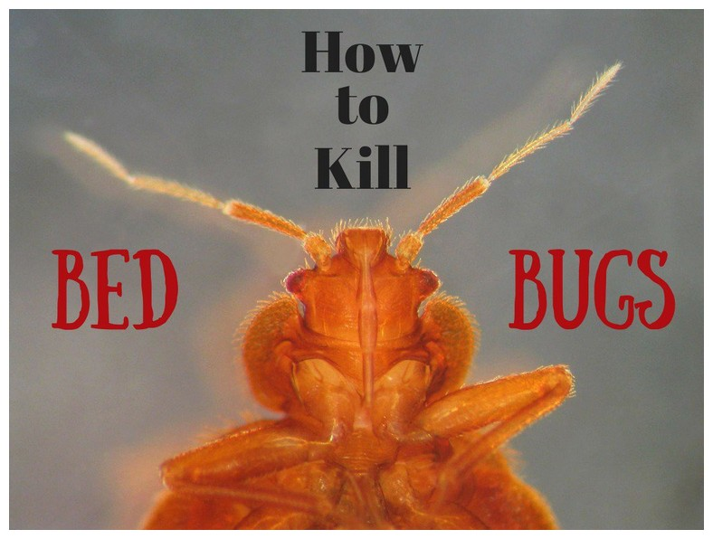 How To Get Rid Of Bed Bugs In House