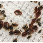 How To Get Rid Of Bed Bugs In The Carpet?