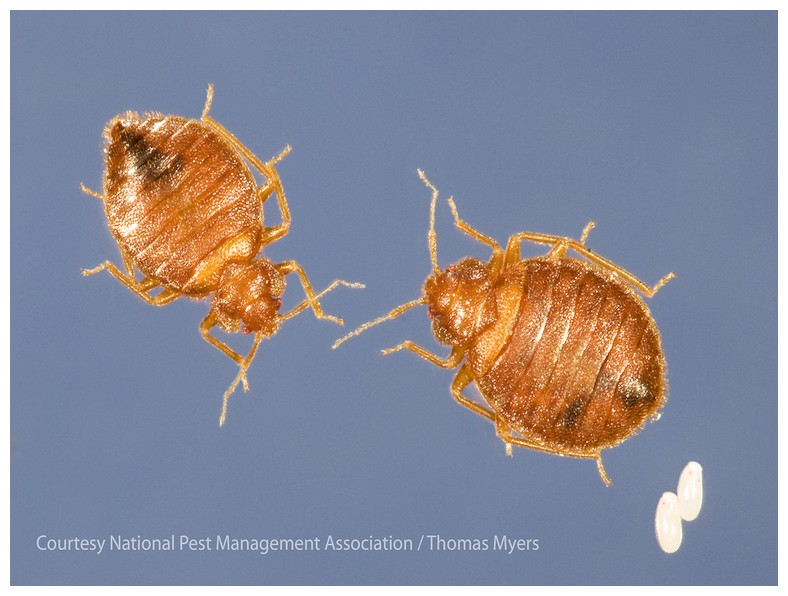 How To Get Rid Of Bed Bugs In Your Home Fast
