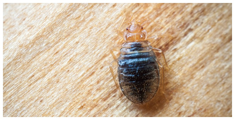 How To Get Rid Of Bed Bugs In Your Home