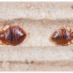 How To Kill Bed Bug Eggs Before They Hatch?