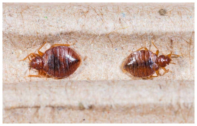 How To Kill Bed Bug Eggs Before They Hatch