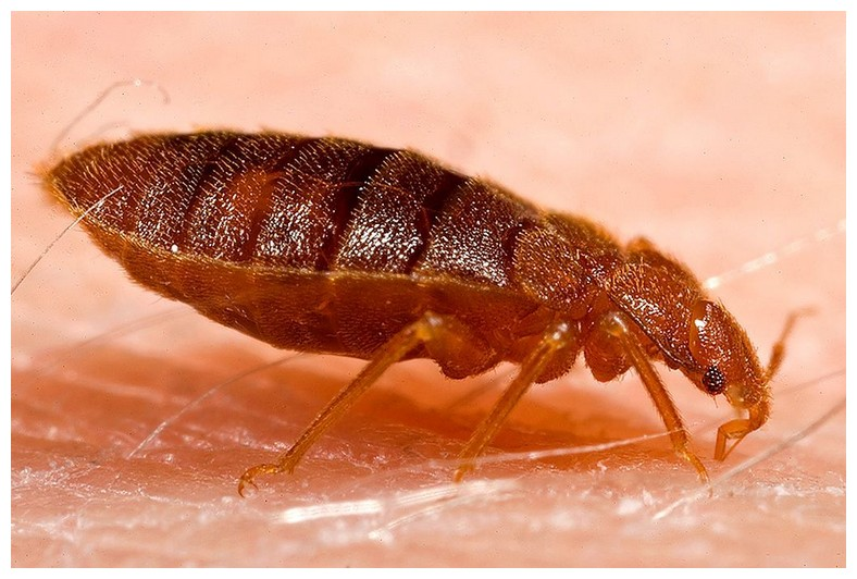 How To Kill Bed Bug Eggs
