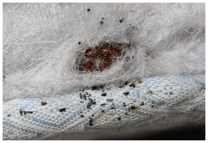 Photo Of Bed Bugs On Mattress