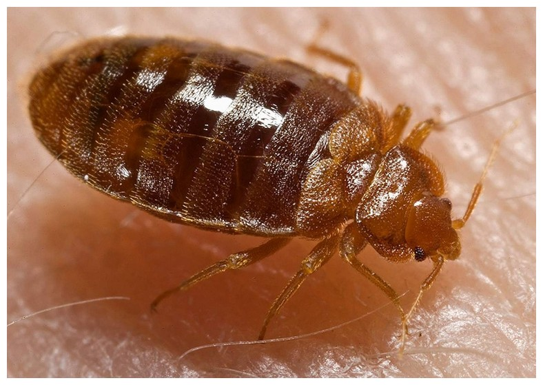 Bed Bug Treatment From Home Depot