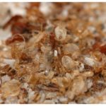 How Do Bed Bugs Look Like When Small?