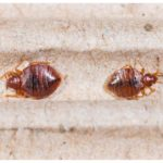 Life Cycle Of A Bed Bug In Days