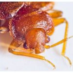 What Kills Bed Bugs Without Contact?