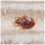 What Temperature Kills Bed Bugs Cold?