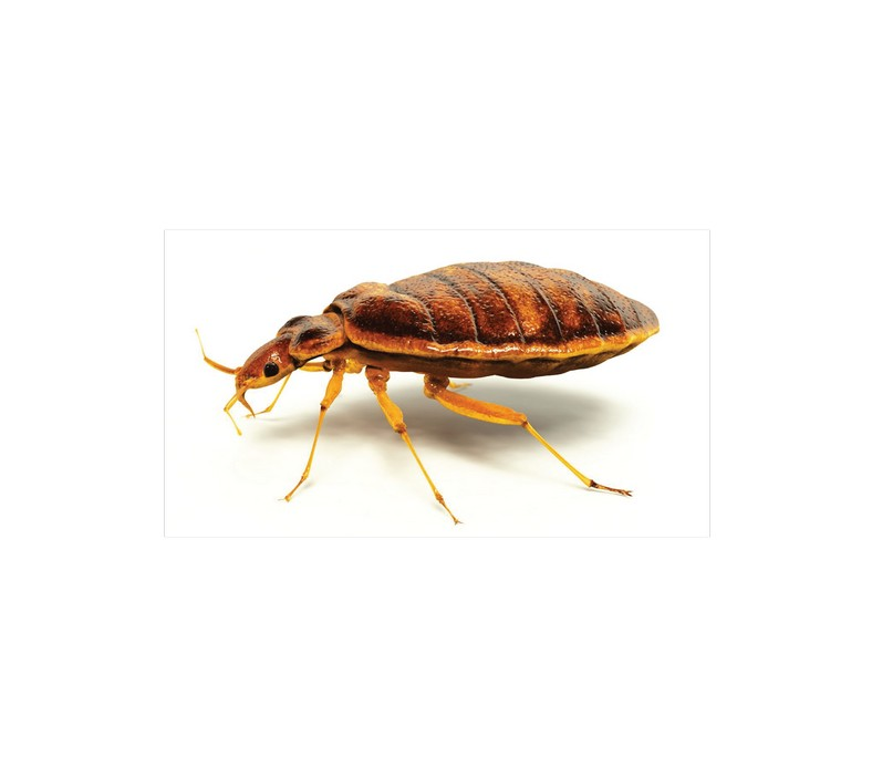 Will Heat Kill Bed Bugs Eggs