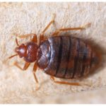 Homemade Chemicals To Kill Bed Bugs