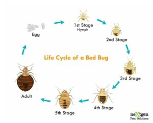 Show Me A Picture Of Bed Bug Eggs