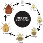 What Do Bed Bugs Do When They Bite You?