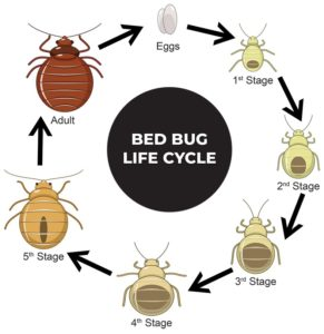 What Do Bed Bugs Do When They Bite You