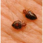 What Does Bed Bugs Do To You?