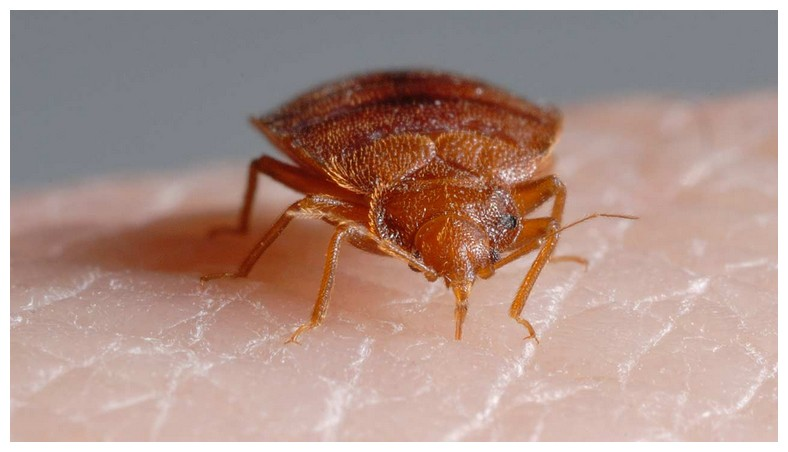 All About Bed Bugs Bites