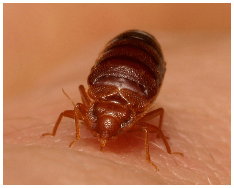Bed Bugs Transfer From Home To Home