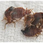 How To Destroy Bed Bugs In Home?