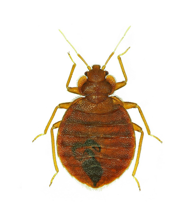 How To Eradicate Bed Bugs From Home