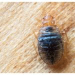 How To Get Rid Of Bed Bugs In Your Home?