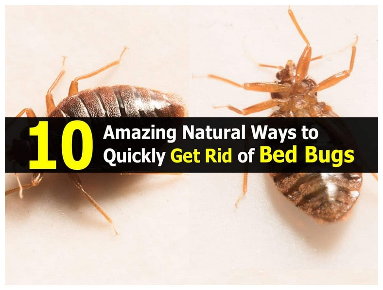 How To Rid Bed Bugs