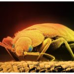 Kill Bed Bugs And Eggs