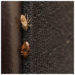 Are Bed Bugs In Wood Furniture?