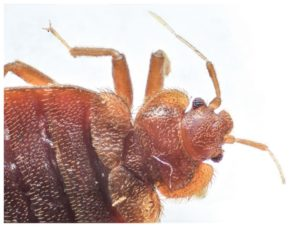Bed Bugs In Florida