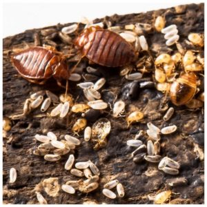 Fed Bed Bug Size