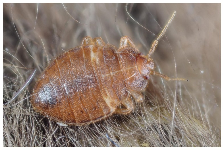 How Much To Hire Exterminator For Bed Bugs