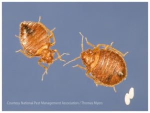 How To Get Rid Of Bed Bugs Naturally Uk