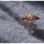 Lavender Bed Bugs