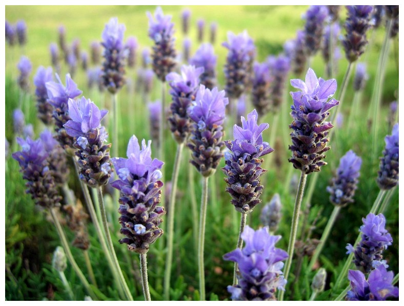 Lavender Keeps Bed Bugs Away
