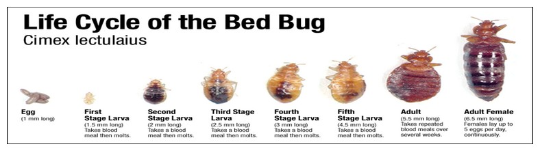Life Of A Bed Bug