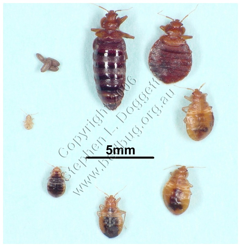 What Do Bed Bugs Look Like Pictures