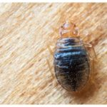 What Get Rid Of Bed Bug Infestation?